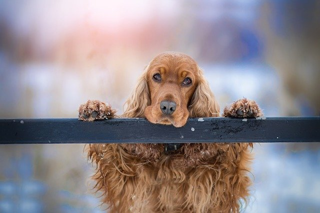 sad cocker spaniel